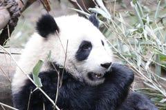 Welp van de close-up de Reuzepanda ` s, Chengdu, China royalty-vrije stock foto's