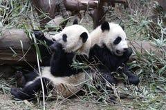 Welp van de close-up de Reuzepanda ` s, Chengdu, China stock foto