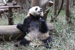 Welp van de close-up de Reuzepanda ` s, Chengdu, China royalty-vrije stock fotografie