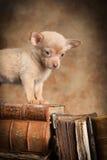 Welpe auf alten Büchern Stockbild
