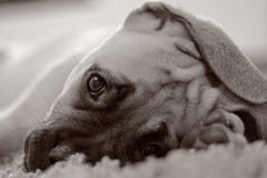 Welpe B&W Bullmastiff Stockfotos