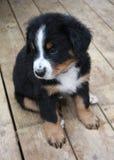 Welpe Bernese Gebirgshund Lizenzfreies Stockfoto