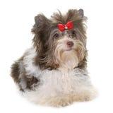 Welpe Biro-Yorkshire-Terrier stockfotos