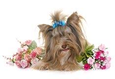 Welpe Biro-Yorkshire-Terrier lizenzfreies stockfoto