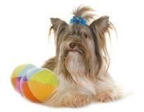 Welpe Biro-Yorkshire-Terrier stockbilder