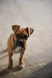 Welpe (Boxer) anstarrend mit Neugier Stockbilder