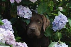Welpe Browns Labrador, der in einem Busch sitzt lizenzfreies stockfoto
