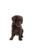 Welpe Chocolat labrador retriever Stockfoto