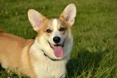 Welpe Corgi Junger Energiehund auf einem Weg Welpenbildung, cynology, intensives Training von jungen Hunden Gehende Hunde in der  lizenzfreies stockbild