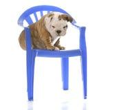 Welpe, der auf einem Stuhl sitzt Stockfotografie