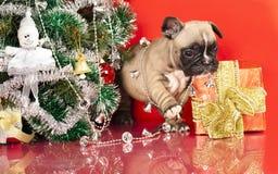 Welpe der französischen Bulldogge Lizenzfreie Stockbilder