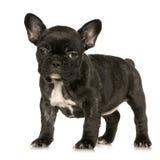 Welpe der französischen Bulldogge Stockfotografie