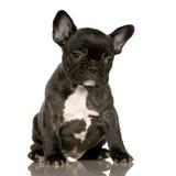 Welpe der französischen Bulldogge Stockbild