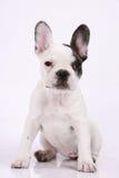 Welpe der französischen Bulldogge stockfotos