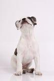 Welpe der französischen Bulldogge lizenzfreie stockfotografie