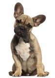 Welpe der französischen Bulldogge, 5 Monate alte, sitzend Stockfotos