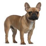 Welpe der französischen Bulldogge, 7 Monate alte, stehendes i Lizenzfreie Stockfotografie