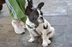 Welpe der französischen Bulldogge Lizenzfreies Stockfoto