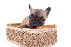 Welpe der französischen Bulldogge, der in einem Korb sitzt Stockfotografie