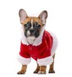 Welpe der französischen Bulldogge, der einen Sankt-Mantel trägt stockfotografie