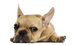 Welpe der französischen Bulldogge, der sich, die Kamera betrachtend hinlegt, lokalisiert Stockbilder