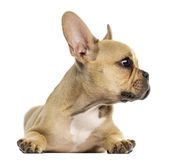 Welpe der französischen Bulldogge, der sich, weg schauend hinlegt, lokalisiert Lizenzfreie Stockfotografie