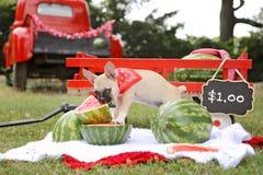 Welpe der französischen Bulldogge, der Wassermelone isst Lizenzfreies Stockfoto