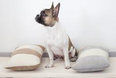 Welpe der französischen Bulldogge, der zwischen den Kissen sitzt Lizenzfreie Stockfotografie