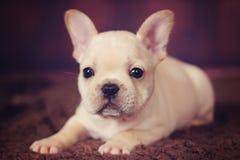 Welpe der französischen Bulldogge des Babys Stockbild