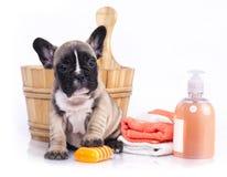 Welpe der französischen Bulldogge im hölzernen Waschbecken Stockbild