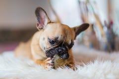 Welpe der französischen Bulldogge liegt auf einem Pelzteppich und zerfrisst am Hundefutter lizenzfreies stockbild