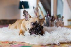 Welpe der französischen Bulldogge liegt auf einem Pelzteppich und zerfrisst am Hundefutter lizenzfreie stockbilder