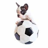 Welpe der französischen Bulldogge mit Fußball Lizenzfreie Stockbilder