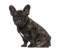 Welpe der französischen Bulldogge (3 Monate alte) Lizenzfreie Stockfotografie