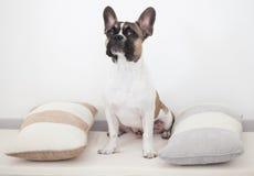 Welpe der französischen Bulldogge, sitzend zwischen den Kissen Stockbild