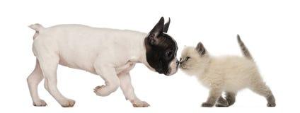 Welpe der französischen Bulldogge und britisches shorthair Lizenzfreies Stockbild