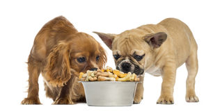 Welpe der französischen Bulldogge und Cavailer König Charles, der voll von einer Schüssel Keksen isst Lizenzfreie Stockfotos