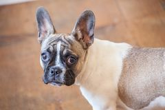 Welpe der französischen Bulldogge, weißes Braun, neugierig Stockbild