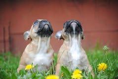 Welpe der franz?sischen Bulldogge auf einem Weg stockfotografie