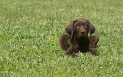 Welpe, der im Gras betrachtet die Kamera liegt Lizenzfreie Stockfotografie
