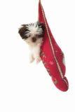 Welpe, der im Weihnachtsstrumpf herumhängt lizenzfreie stockfotos