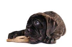 boxer hund der isolationsschlauch isst stockfoto bild von flashy nudel 20664212. Black Bedroom Furniture Sets. Home Design Ideas