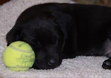 Welpe, der mit Ball schläft Stockbild