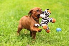 Welpe, der mit kleinem Tiger spielt Stockbild
