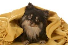 Welpe, der unter einer Decke sich versteckt Lizenzfreie Stockfotografie
