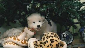 Welpe, der Weihnachtsspielzeug kaut stock video footage