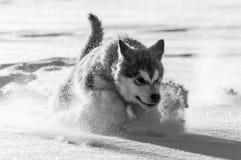 Welpe des alaskischen Malamute, der im Schnee spielt Stockfoto
