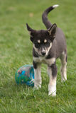 Welpe des alaskischen Schlittenhunds lizenzfreie stockbilder