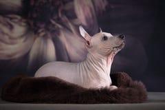 Welpe des amerikanischen nackten terrier_12 stockbilder