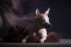 Welpe des amerikanischen nackten Terriers lizenzfreie stockfotos